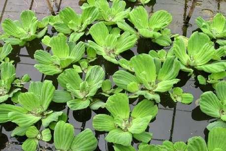 बिना RO के पानी को फिल्टर करेगा ये पौधा