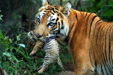T33 बाघ ने T62 बाघिन और शावक की ली जान, वन विभाग में खलबली