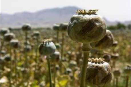 अफीम उत्पादक किसानों के लिए खुशखबरी, अब तौल केन्द्रों पर ही होगी ग्रेडिंग