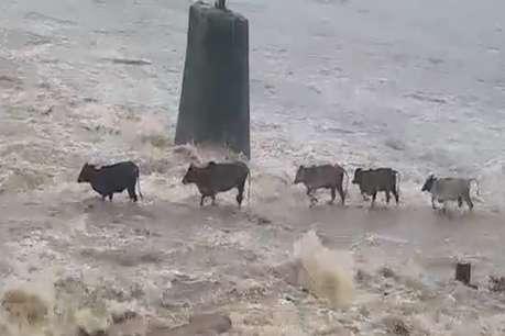 देखते ही देखते नदी में समा गए 4 मवेशी, रुला देगा यह वीडियो