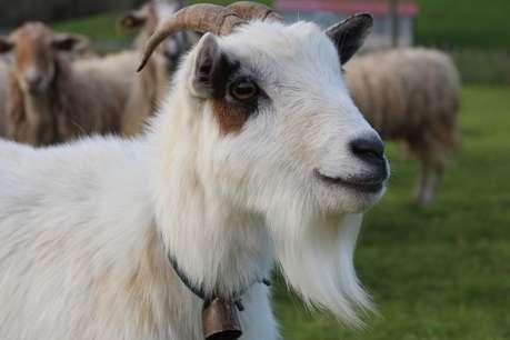 Eid ul-Adha 2019: क्यों बकरीद पर दी जाती है जानवरों की कुर्बानी