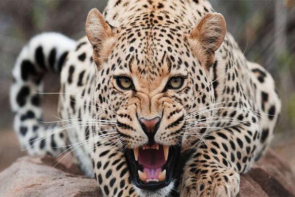 घर में घुसकर तेंदुए ने मचाया आतंक, 9 साल के मासूम का किया शिकार
