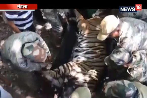 VIDEO: कान्हा टाइगर रिजर्व से बाघ को ऐसे भेजा गया उड़ीसा