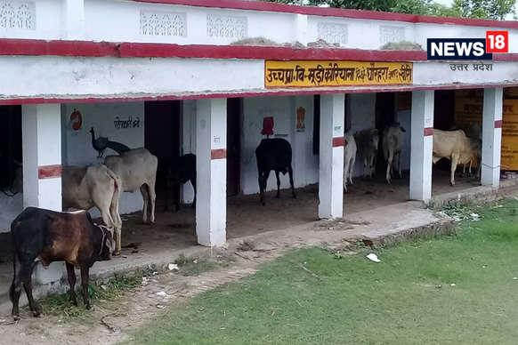 यूपी में छुट्टा जानवरों से परेशान जनता, लखीमपुर खीरी के इस स्कूल में बांध दी गायें
