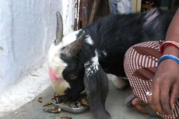 VIDEO: नॉनवेज और शराब का शौकीन है ये बकरा, ना मिले तो मचा देता है हंगामा