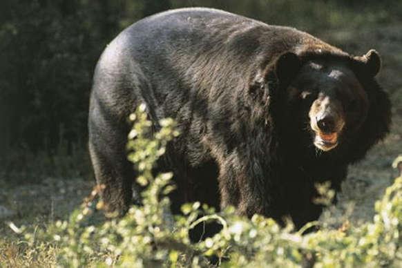 बलरामपुर: दो गांवों में दो लोगों पर जंगली भालुओं का जानलेवा हमला