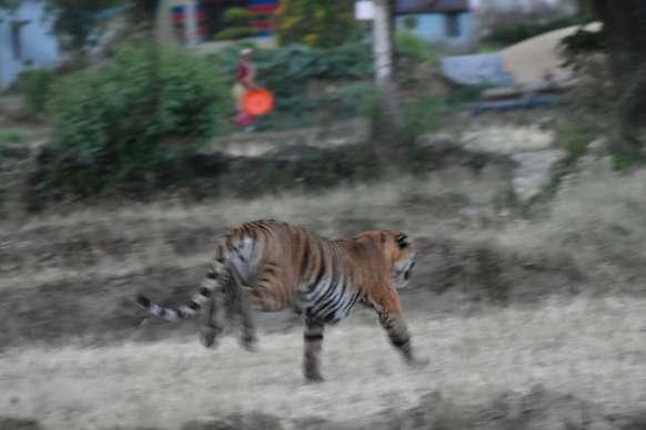 कॉर्बेट पार्क से सटे ढेला गांव में टाइगर ने मवेशी को बनाया निवाला, दहशत में ग्रामीण