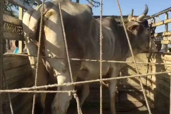 जोधपुर में गाय के मालिकाना हक का अनूठा फैसला