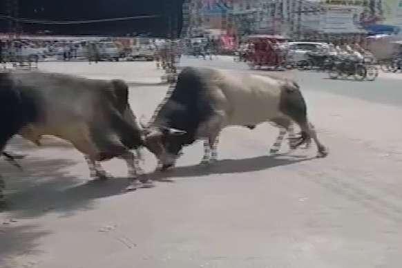 हरदोई: बीच सड़क पर सांडों का संग्राम, देखें VIRAL VIDEO