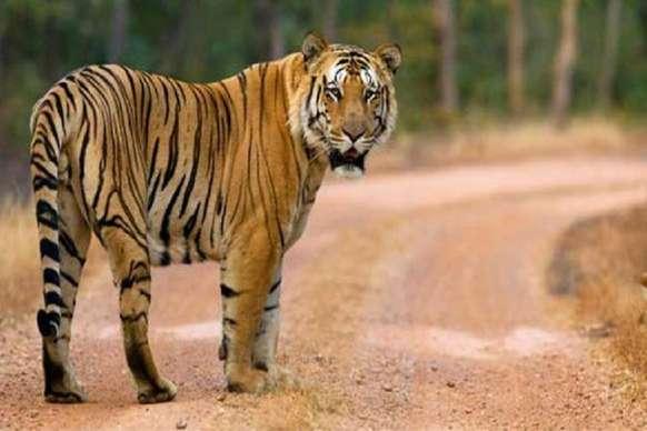 क्या है पन्ना टाइगर रिजर्व के T3 बाघ की दर्द भरी दास्तां...